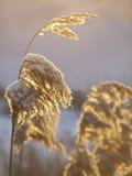 Pianta di Reed coperta di neve al sole Fotografie Stock Libere da Diritti