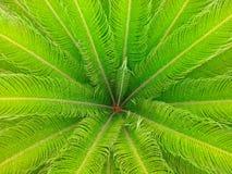 Pianta di Revoluta della cycadaceae Fotografia Stock Libera da Diritti