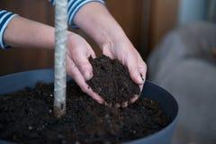 Pianta di riassegnazione di giardinaggio domestica della casa, fine su Immagine Stock Libera da Diritti