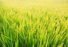 Pianta di riso immagini stock