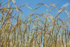Pianta di riso Fotografie Stock