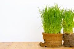 Pianta di riso Immagine Stock
