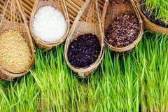 Pianta di riso Immagine Stock Libera da Diritti