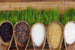 Pianta di riso Fotografie Stock Libere da Diritti