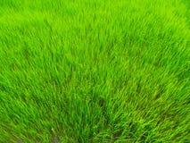Pianta di riso Fotografia Stock
