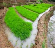 Pianta di riso con grandangolare Immagine Stock Libera da Diritti