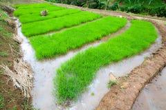 Pianta di riso con grandangolare Fotografie Stock