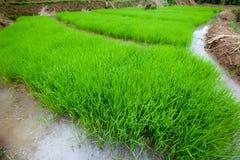 Pianta di riso con grandangolare Immagini Stock Libere da Diritti
