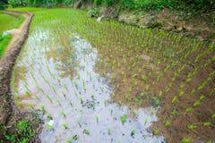Pianta di riso con grandangolare Fotografia Stock Libera da Diritti