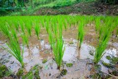 Pianta di riso con grandangolare Immagini Stock