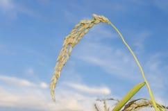 Pianta di riso cruda Immagini Stock