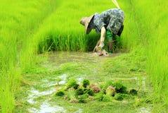 Pianta di riso di lavoro dell'agricoltore in azienda agricola della Tailandia Fotografia Stock Libera da Diritti