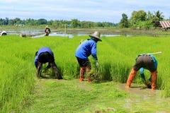 Pianta di riso di lavoro dell'agricoltore in azienda agricola della Tailandia Immagini Stock Libere da Diritti