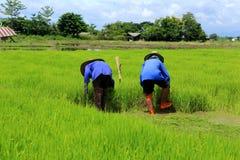 Pianta di riso di lavoro dell'agricoltore in azienda agricola della Tailandia Fotografie Stock