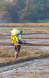 Pianta di riso di lavoro dell'agricoltore in azienda agricola della Tailandia Fotografia Stock