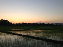 Pianta di riso di tramonto di sera alla risaia a dicembre Tailandia #031 del campo di mais Immagini Stock Libere da Diritti