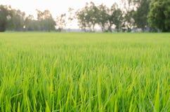 Pianta di riso nel giacimento del riso immagini stock