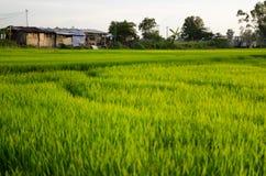 Pianta di riso nel giacimento del riso immagine stock
