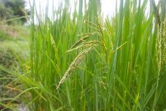 Pianta di riso nel giacimento del riso, Tailandia Immagini Stock