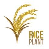 Pianta di riso su fondo bianco Fotografia Stock Libera da Diritti