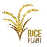 Pianta di riso su fondo bianco Fotografia Stock