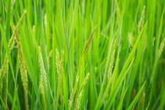 Pianta di riso verde per agricoltura dell'asiatico della natura Fotografia Stock
