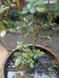 Pianta di Rosa Fotografia Stock