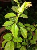 Pianta di Rosa dopo pioggia Fotografia Stock