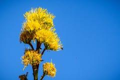 Pianta di secolo di fioritura, Maguey, o agave americana americana dell'aloe; fondo del cielo blu, California immagini stock