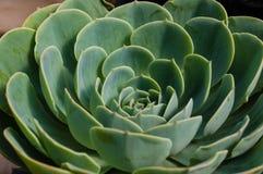 Pianta di Sedum con le foglie verdi blu Fotografia Stock Libera da Diritti