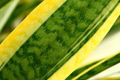 Pianta di serpente (trifasciata) di Sansevieria, primo piano Fotografia Stock