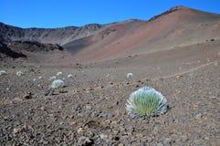 Pianta di Silversword in cratere di Haleakala - Maui Fotografie Stock