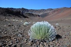 Pianta di Silversword in cratere di Haleakala - Maui Immagini Stock