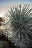 Pianta di Silversword nel parco nazionale di Haleakala, Maui, Hawai Fotografia Stock