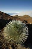 Pianta di Silversword nel parco nazionale di Haleakala, Maui, Hawai Fotografia Stock Libera da Diritti