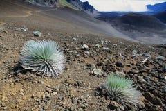Pianta di Silversword, parco nazionale di Haleakala Fotografia Stock