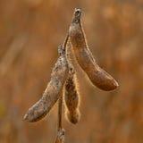 Pianta di soia Immagini Stock
