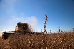 Pianta di soia al raccolto fotografia stock
