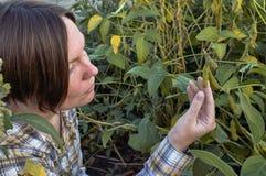 Pianta di soia dell'esame dell'agricoltore nel campo fotografia stock