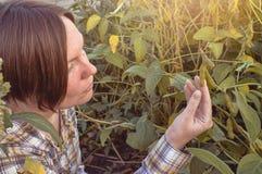 Pianta di soia dell'esame dell'agricoltore nel campo Fotografia Stock Libera da Diritti