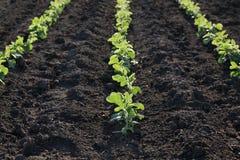 Pianta di soia nel campo in primavera Fotografie Stock Libere da Diritti