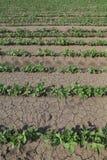 Pianta di soia nel campo in primavera Fotografia Stock