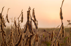 Pianta di soia nel primo mattino Immagini Stock