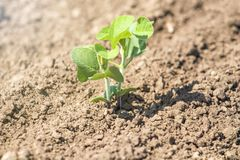 Pianta di soia verde sul campo in primavera Giovane pianta della soia Immagine Stock