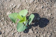 Pianta di soia verde sul campo in primavera Giovane pianta della soia Immagine Stock Libera da Diritti