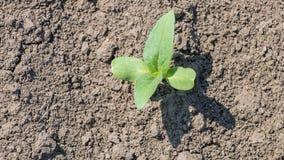Pianta di soia verde sul campo in primavera Giovane pianta della soia Fotografia Stock Libera da Diritti