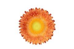 Pianta di Strawflower (Xerochrysum Bracteatum) isolata dal BAC Immagini Stock Libere da Diritti