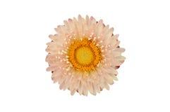 Pianta di Strawflower (Xerochrysum Bracteatum) isolata dal BAC Fotografia Stock Libera da Diritti