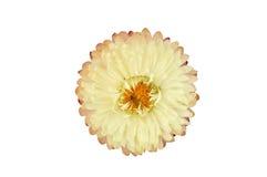Pianta di Strawflower (Xerochrysum Bracteatum) isolata dal BAC Fotografie Stock Libere da Diritti
