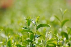 Pianta di tè (camellia sinensis) Fotografie Stock Libere da Diritti